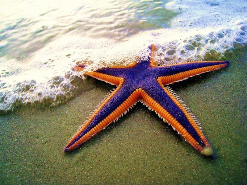 Цікаві факти про морську зірку