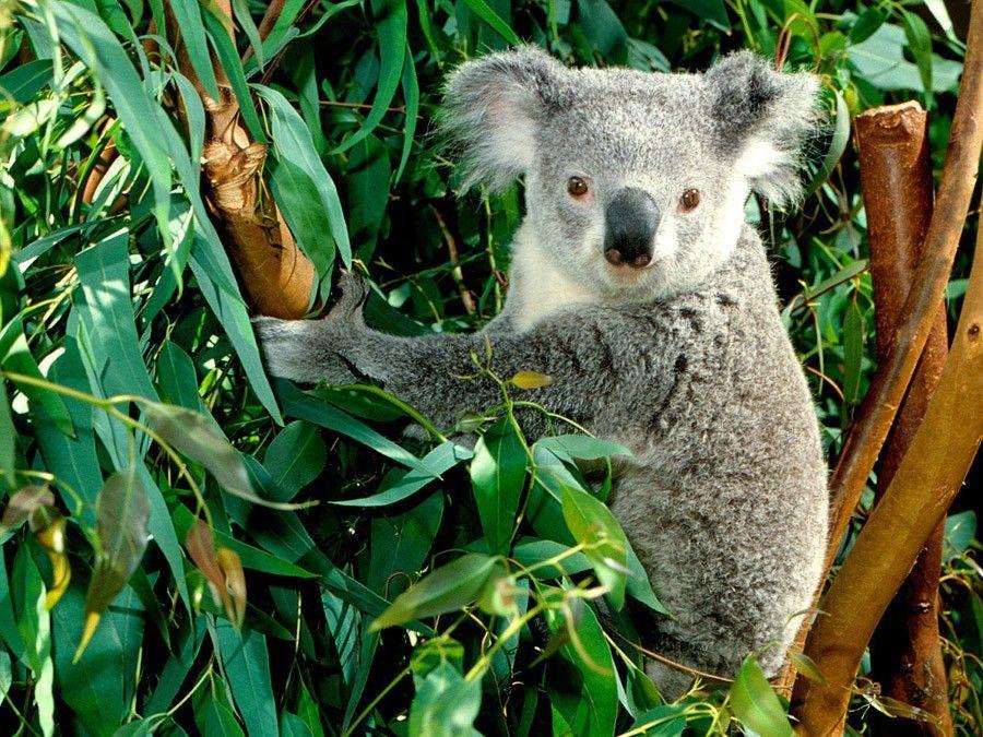 Цікаві факти про коал