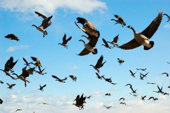 Перелітні птахи України