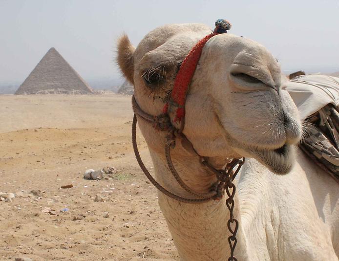Цікаві факти про верблюдів
