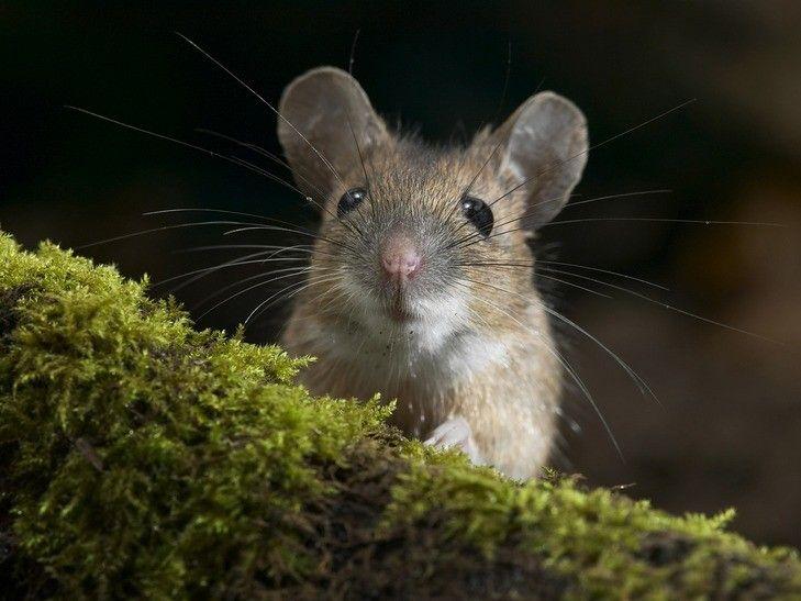 Цікаві факти про мишей