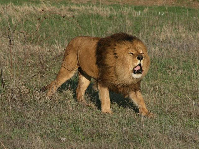 Цікаві факти про левів