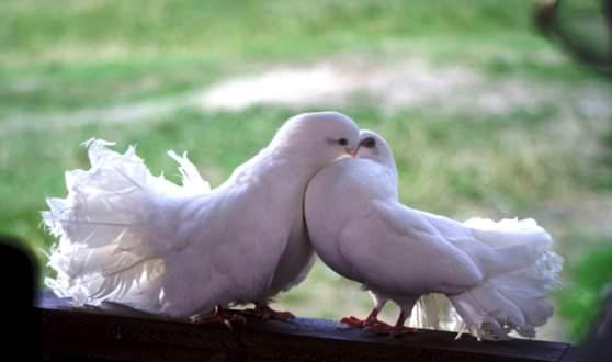 Цікаві факти про голубів