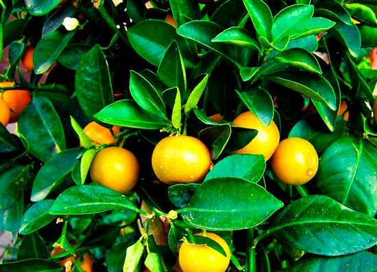 Цікаві факти про мандарини