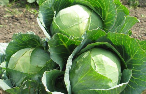 Цікаві факти про капусту