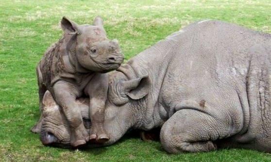 Цікаві факти про носорогівЦікаві факти про носорогів