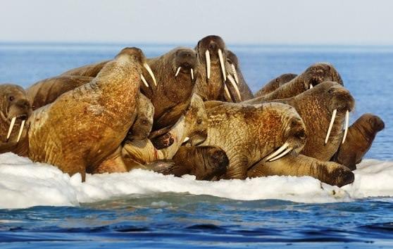 Цікаві факти про моржів