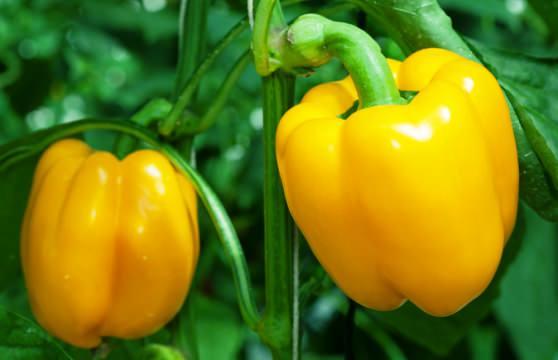 Цікаві факти про солодкий перецьм