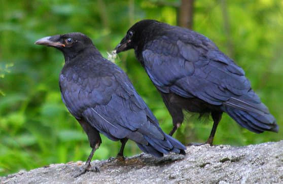 Цікаві факти про ворон