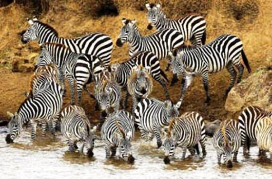 Цікаві факти про зебр