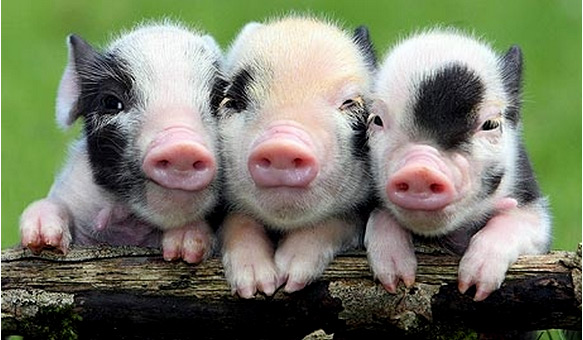 Цікаві факти про свиней