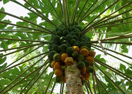 Цікаві факти про манго