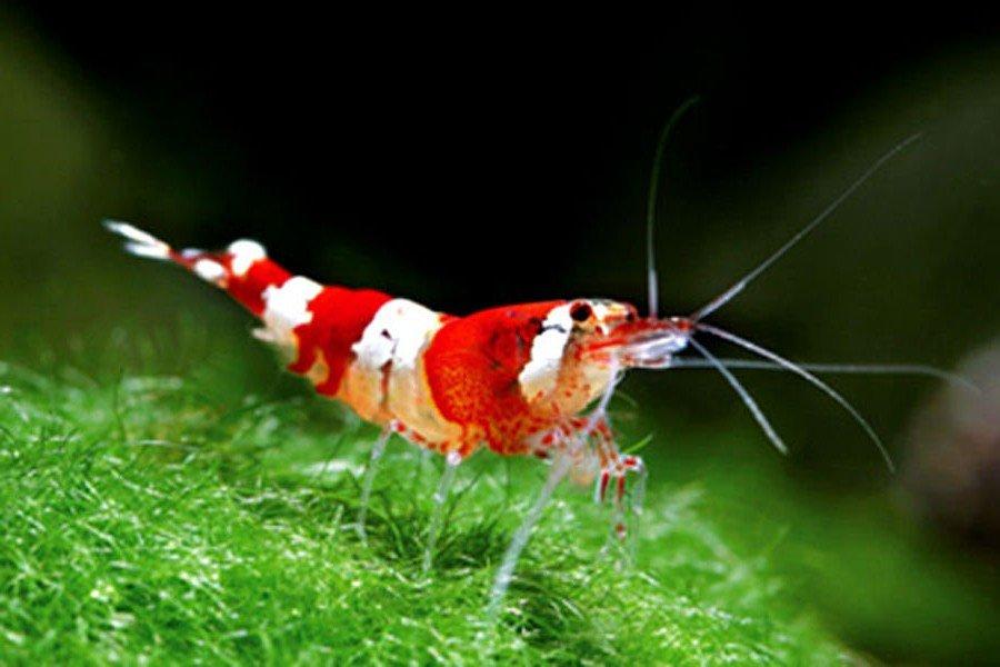10 цікавих фактів про креветки