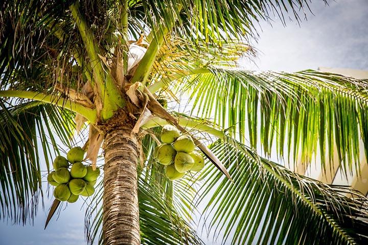 Цікаві факти про кокоси