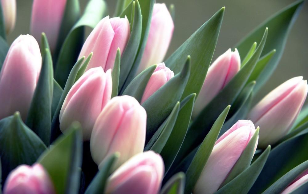 Цікаві факти про тюльпани, які корисно знати | Цікаво і корисно