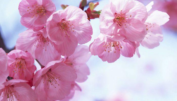 Цікаві факти про сакуру