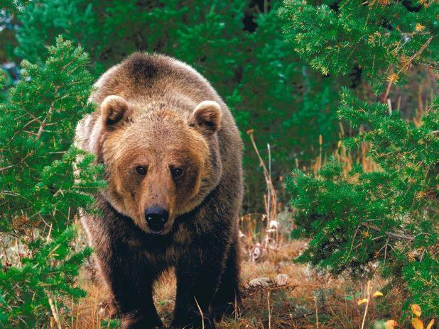Цікаві факти про ведмедя
