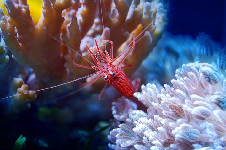 Цікаві факти про креветки