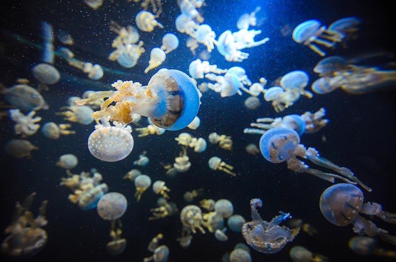 Цікаві факти про медузи