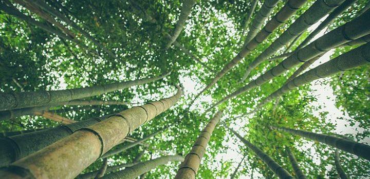 Цікаві факти про бамбук