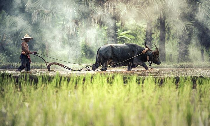 Цікаві факти про буйволів